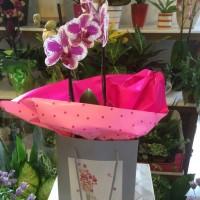 Orquídea phalenosis